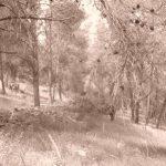 בצל עצי האורן